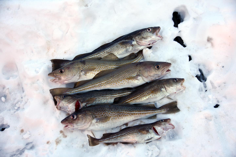 fischen-lyngen-norwegen-paul-held-fang