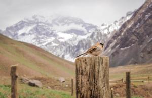aconcagua-bird